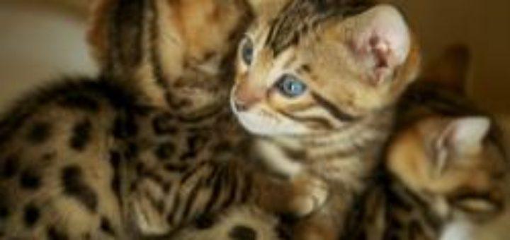 chaton du bengal gratuit - Chaton Bengal Gratuit