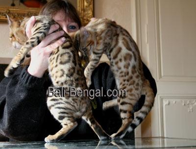Prix chat bengal khenghua - Chaton bengal gratuit ...