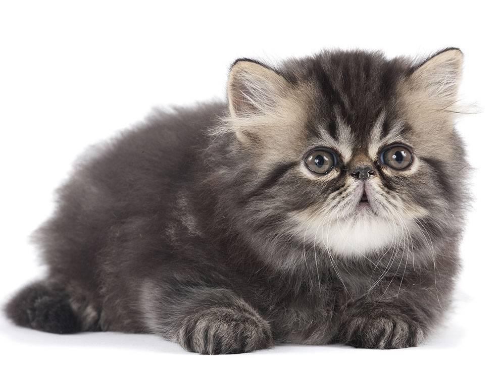 Acheter un chaton de race khenghua - Chaton persan gratuit ...