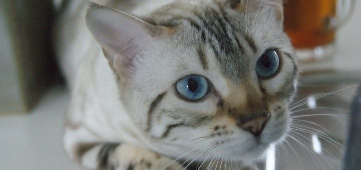 chat bengal silver yeux bleu khenghua. Black Bedroom Furniture Sets. Home Design Ideas